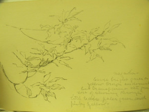 Magnolia Leaves from an Alice Ravenel Huger Smith sketchbook, ca. 1920s