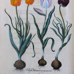 Tulips, Plate from HORTUS ESTETTENSIS, 1713, by Basilius Besler