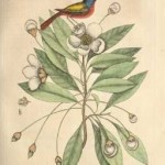 Painted Finch, Vol. I, Plate 84, 1731, by Mark Catesby