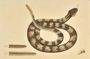 Rattle Snake, Vol. II, Plate 41, 1743, by Mark Catesby