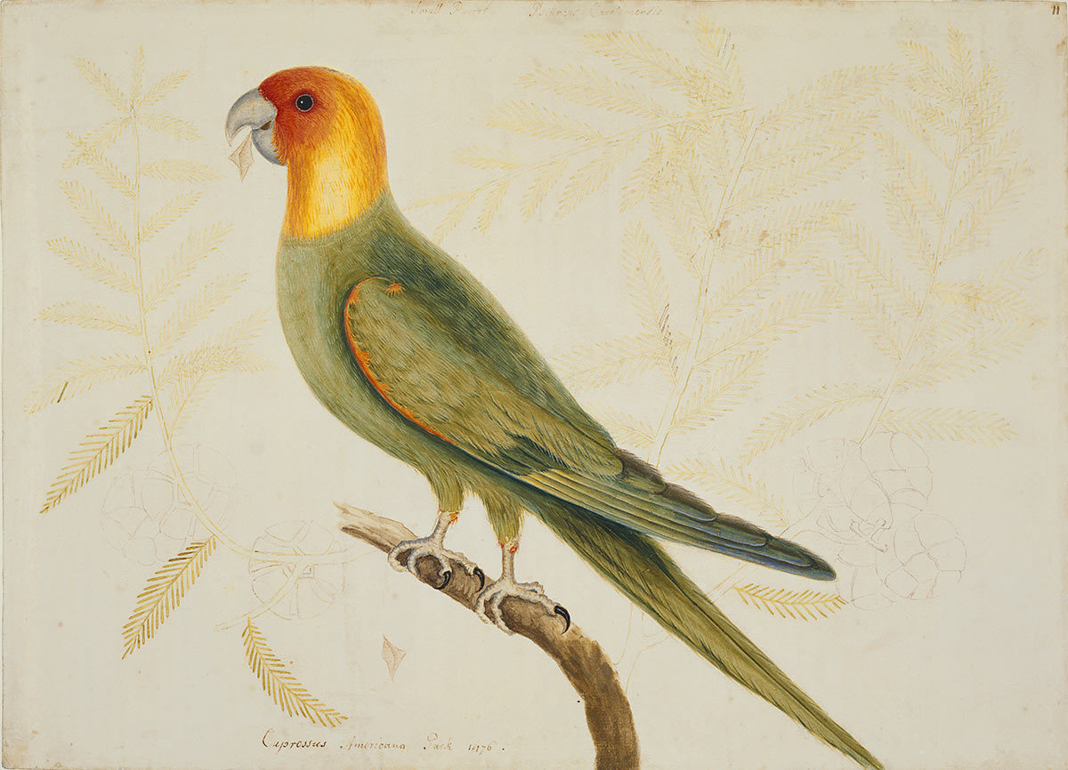 The Parrot of Carolina and the Cypress of America, ca. 1722–1726, by Mark Catesby (British, 1682–1749); watercolor, bodycolor, and pen and ink; Royal Collection Trust/© Her Majesty Queen Elizabeth II 2017