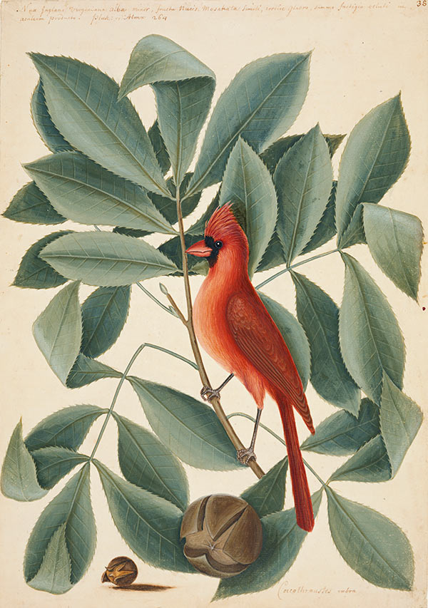 The Red Bird, the Hiccory Tree and the Pignut, ca. 1722–1726, by Mark Catesby