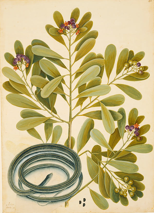 The Ribbon-Snake and Winter's Bark, ca. 1722–1726, by Mark Catesby
