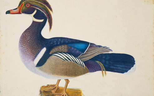 The Summer Duck, ca. 1722–1726, by Mark Catesby