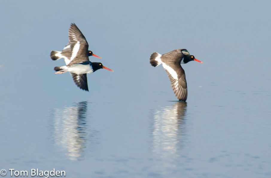 American Oystercatchers, Tom Blagden