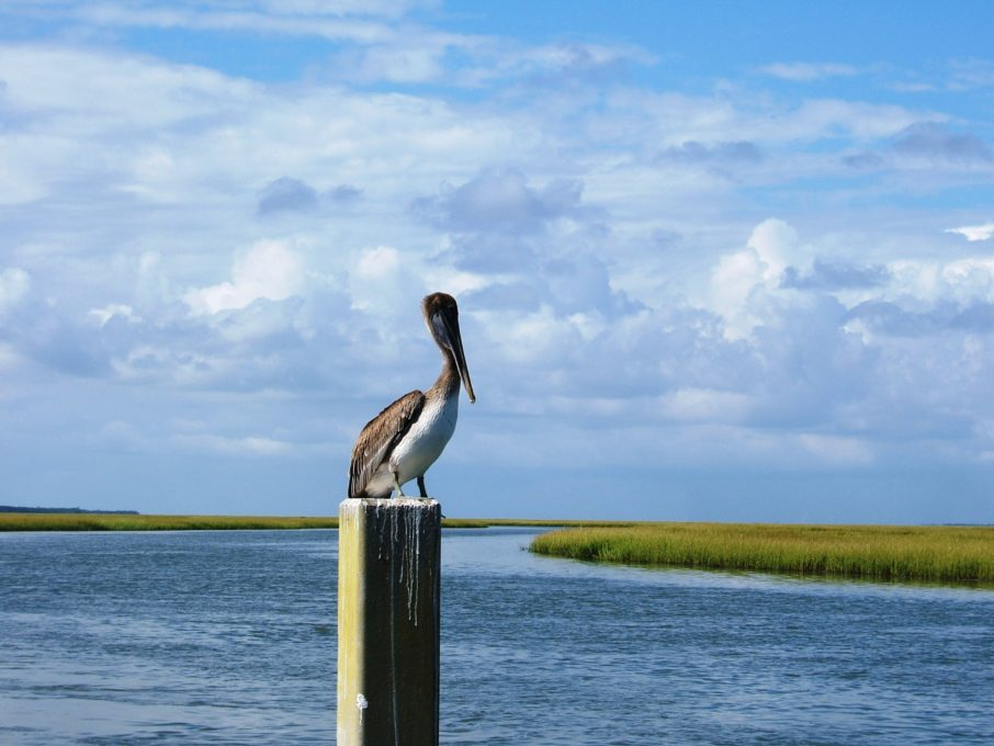 Eastern Brown Pelican, Coastal Expeditions Staff