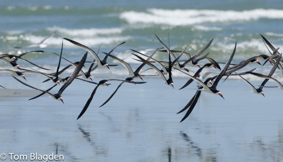 Black Skimmers, Tom Blagden