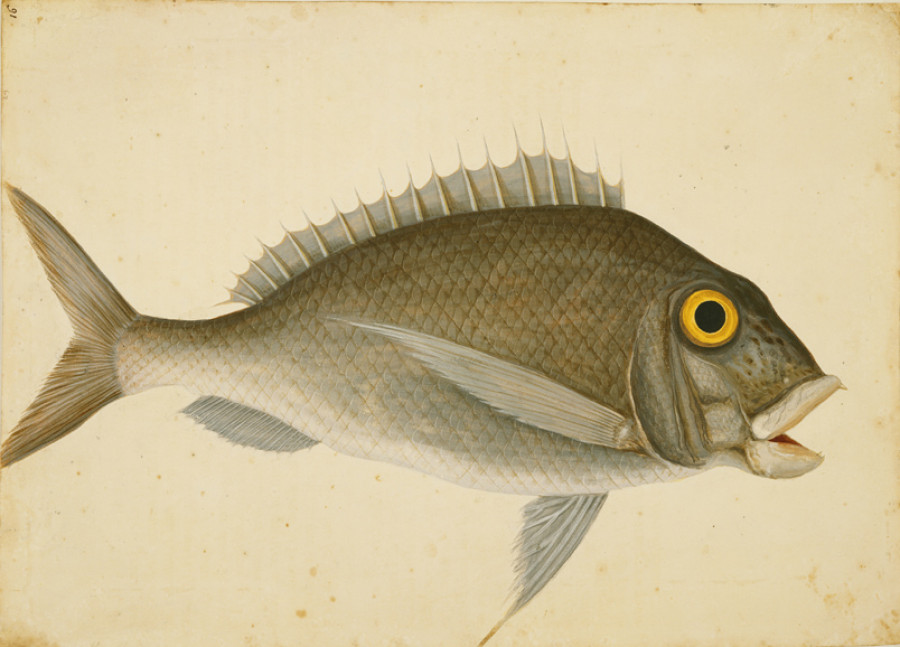 <i>The Porgy</i>, ca. 1722—1726, by Mark Catesby (British, 1682—1749); watercolor and bodycolor; Royal Collection Trust/© Her Majesty Queen Elizabeth II 2017