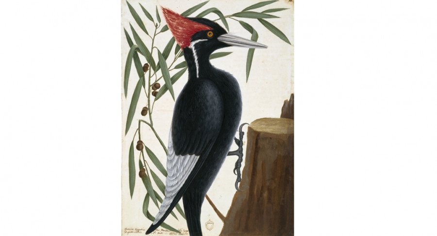 <i>Ivory-billed woodpecker and willow oak</i>, ca. 1722&mdash;1726, by Mark Catesby (British, 1682&mdash;1749); watercolor and bodycolor over pen and ink; Royal Collection Trust/&copy Her Majesty Queen Elizabeth II 2017