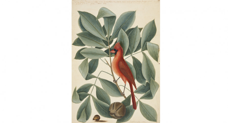 <i>The Red Bird, the Hiccory Tree and the Pignut</i>, ca. 1722&mdash;1726, by Mark Catesby (British, 1682&mdash;1749); watercolor and bodycolor heightened with gum Arabic; Royal Collection Trust/&copy Her Majesty Queen Elizabeth II 2017