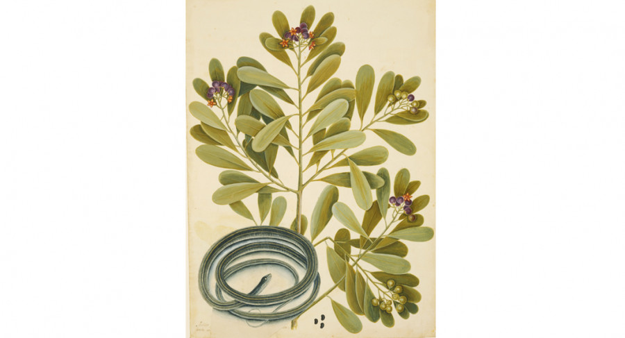 <i>The Ribbon-Snake and Winter's Bark</i>, ca. 1722&mdash;1726, by Mark Catesby (British, 1682&mdash;1749); watercolor and bodycolor heightened with gum arabic, over touches of pencil; Royal Collection Trust/&copy Her Majesty Queen Elizabeth II 2017